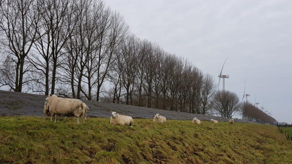 Een winderige toer - schapen